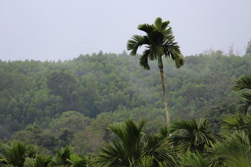Areca Plantation